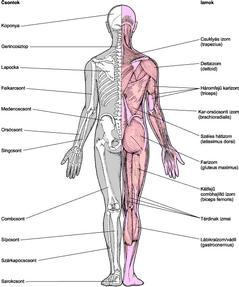 csontok és ízületek betegségei