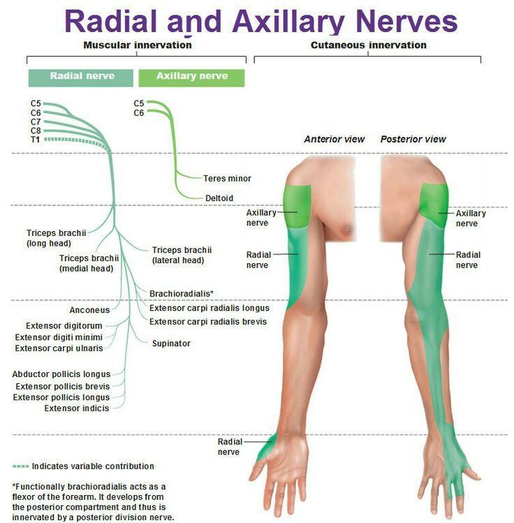 32 Best PT/arm images | Anatómia, Masszázs, Egészség