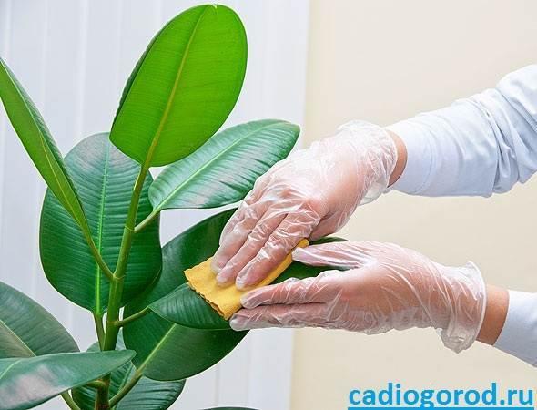 A szobafikusz (Ficus elastica) gondozása