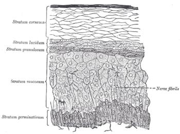 kötőszövet porc sejtcsoportok