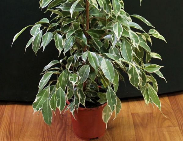 Az óvodai szobanövények leírása. A Ficus típusai
