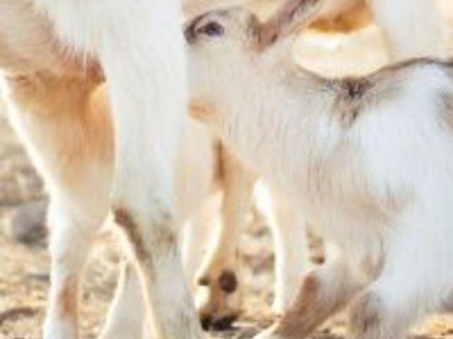 Miért nem kapható egész évben kecsketej? - Kecsketej