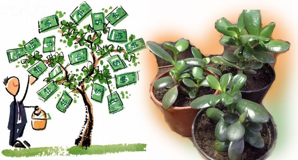 pénz fa ízületi kezelés